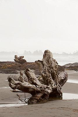 A Large Drift Log Sits On Chesterman's Beach Near Tofino; British Columbia Canada - p442m699868f by Deddeda
