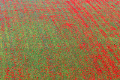 Field with poppies in Italy - p7190096 by Rudi Sebastian