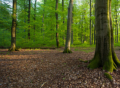 German forest - p416m991250 by Matthias Groppe