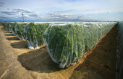 Agriculture - Tangerine orchard covered with bee netting to prevent pollination, thus producing seedless fruit / near Dinuba, California, USA. - p442m1006222 by Steve Goossen