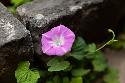 Morning Glory - p628m2238089 by Franco Cozzo