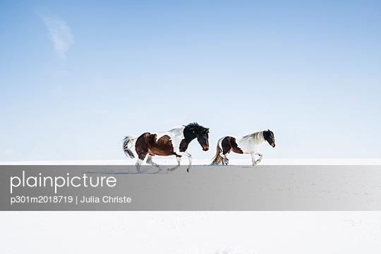 Brown and white horses running in sunny, snowy field - p301m2018719 by Julia Christe