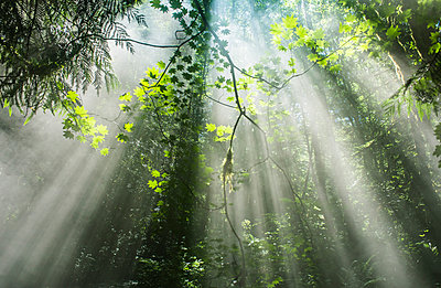 Scenic view of sunrays streaming through trees in forest - p1166m1193874 by Cavan Images