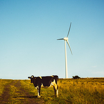 Cow and wind turbine in a field - p813m1465110 by B.Jaubert