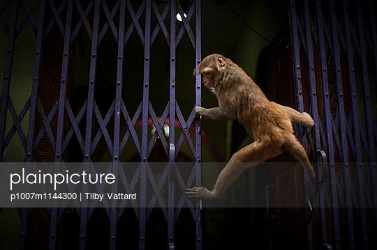 Monkey climbing on metal gate - p1007m1144300 by Tilby Vattard