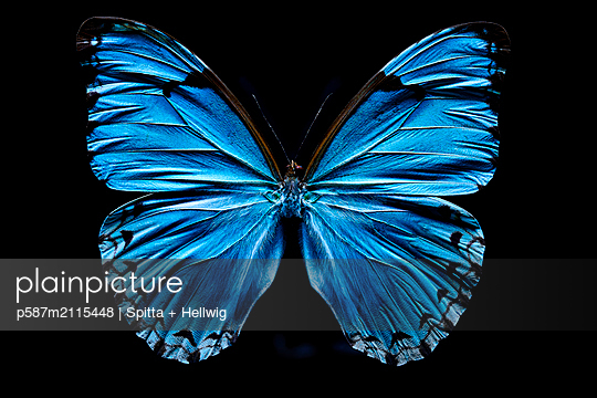 Blue butterfly - p587m2115448 by Spitta + Hellwig
