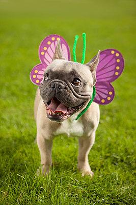 Lachender Schmetterlingshund - p045m1181831 von Jasmin Sander