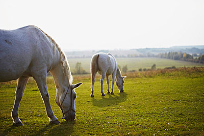 Two Horses Grazing On Pasture - p1026m874708f by Dario Secen