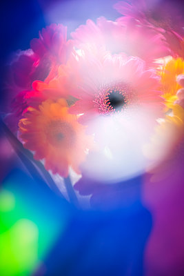 A bunch of brighlty coloured Gerbera flowers in a vase soft with lens flare and rainbow colours creating an abstract image. - p1057m2134643 by Stephen Shepherd