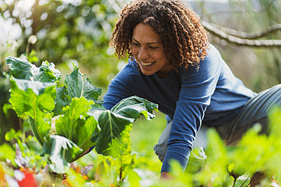 Curly haired woman picking organic cauliflower in permaculture garden - p300m2268061 by Steve Brookland