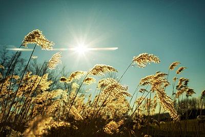 Germany, North Rhine-Westphalia, Oberhausen, grasses against the sun - p300m981776f by Gabi Dilly