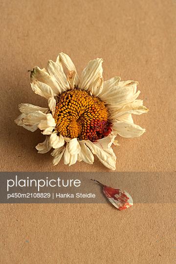 Daisy - p450m2108829 by Hanka Steidle