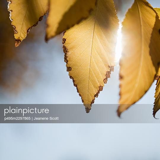 Dying Autumn Elm leaves - p495m2297865 by Jeanene Scott