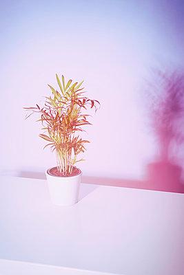 Parlour palm, Chamaedorea elegans - p1149m1553247 by Yvonne Röder