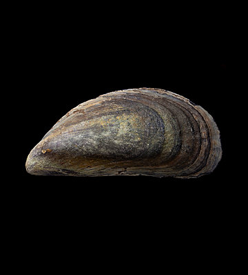 Common mussle - p250m808686 by Christian Diehl