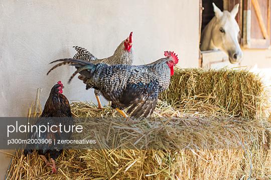 Farm animals on hay - p300m2003906 von zerocreatives