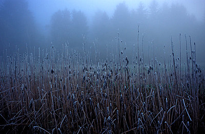 Plants with glazed frost in the fog - p2686584 by Katarzyna Zommer