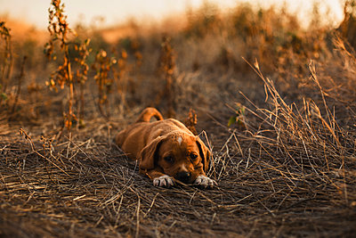 Puppy lying on a field - p300m2023787 by Aitor Carrera Porté
