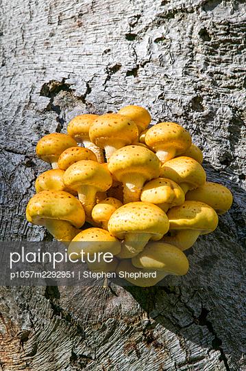 Detail eines Pilzes, der auf einem Baumstamm wächst - p1057m2292951 von Stephen Shepherd