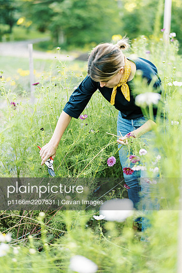 Millennial woman working at her flower farm collecting cosmos - p1166m2207831 by Cavan Images