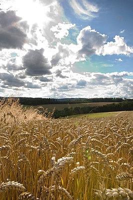 Corn ear - p26812331 by Arne Landwehr